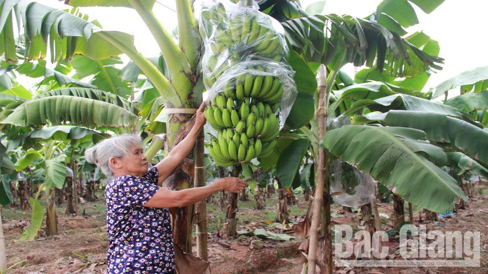 Xây dựng vùng trồng chuối tập trung thu lãi 250 triệu/ha/năm